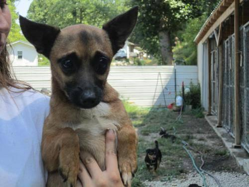 Chihuahua - Joe Jr. - Small - Adult - Male - Dog