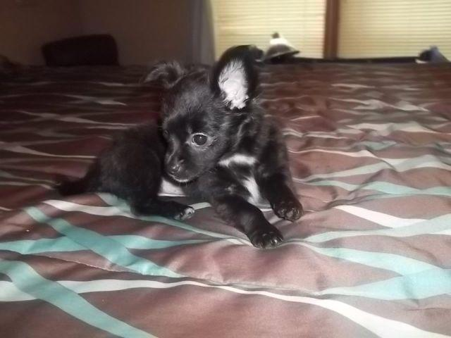 Chihuahua Long Coat Females With A Little Yorkie For Sale In Union City Michigan Classified