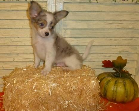 Chihuahua long hair blue merle male puppy blue boy for sale in conroe