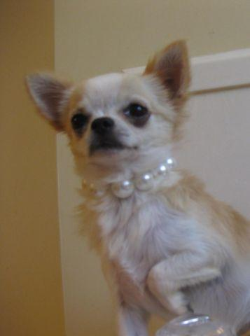 Chihuahua Long Hair Tiny female *SOLD