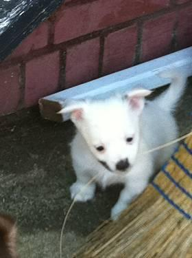 Chihuahua longhaired male very cute friendly little guy 8 weeks old
