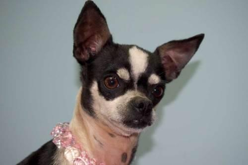 Chihuahua - Maddie - Small - Adult - Female - Dog