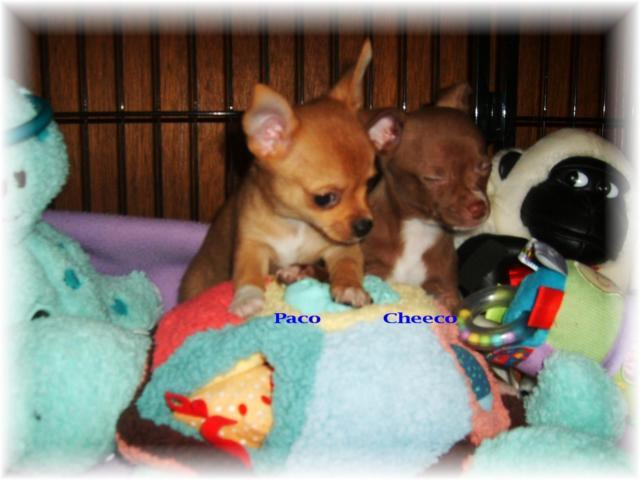 ~Chihuahua male puppies~
