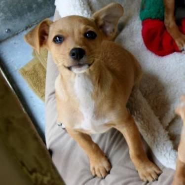 Chihuahua - Mary Lou Retton - Small - Baby - Female -