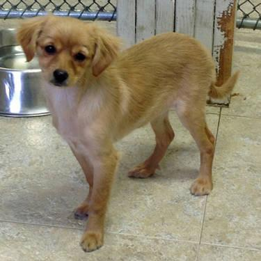 Chihuahua - May Ny - Small - Baby - Female - Dog