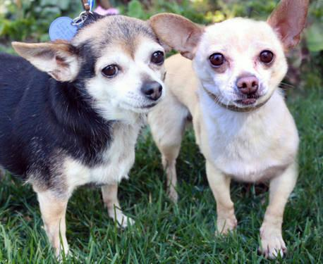 Chihuahua - Mimi - Small - Adult - Female - Dog