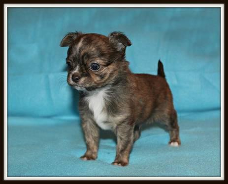 chihuahua puppies michigan chihuahua mix puppies for sale in coldwater michigan 6381