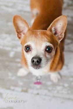 Chihuahua - Monkey D122205 - Small - Adult - Male - Dog