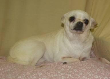 Chihuahua - Peanut - Small - Adult - Male - Dog