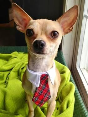 Chihuahua - Peewee - Small - Young - Male - Dog
