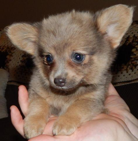Pomeranian Husky Mix Puppy Clifieds Across The Usa Page 5 Americanlisted