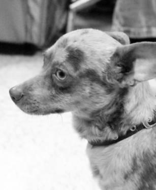 Chihuahua - Poncho - Small - Young - Male - Dog