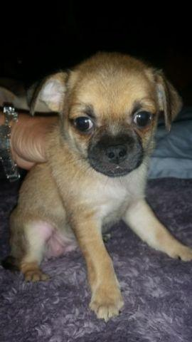 Chihuahua /Pug mix puppies for Sale in Tucson, Arizona Classified ...