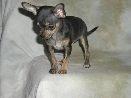 brindle chihuahua for sale chihuahua pup brindle akc christmas delivery for sale in 6666