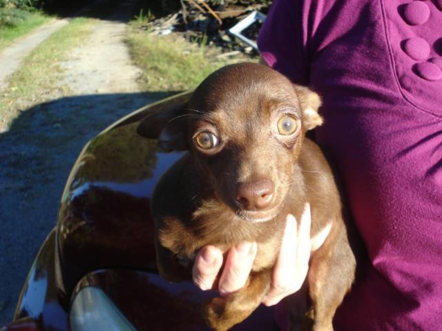 CHIHUAHUA PUP, CKC, MALE, SHORT HAIR, CHOCOLATE