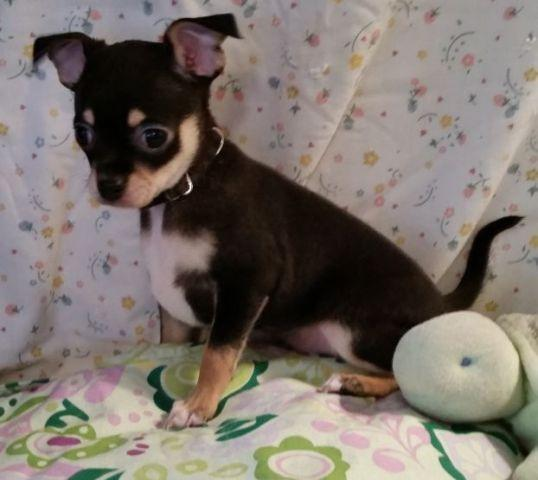 Chihuahua Puppies - 2 M - 10 wks - Black & Tan