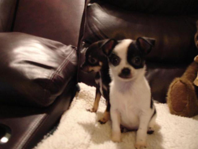 Chihuahua Puppies 8 12 Weeks Old For Sale In Wirtz Virginia