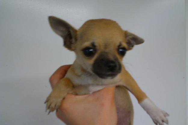 chihuahua puppies michigan chihuahua puppies for sale in dewitt michigan classified 8882