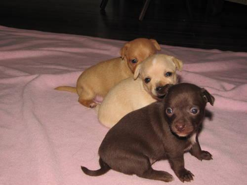 Chihuahua Puppies For Sale In Richmond Virginia Classified