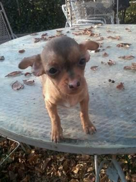 Teacup Chihuahua Puppies For Sale In Virginia Classifieds Buy