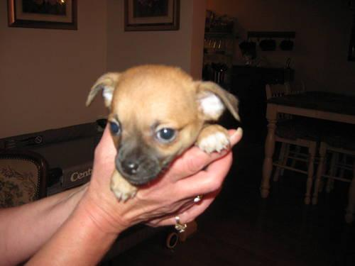 German Shepherd Puppies Red Black Pets And Animals For Sale In