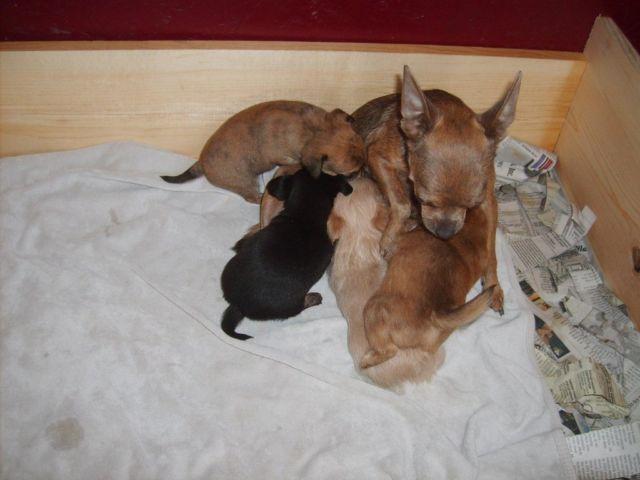 ~Chihuahua puppies~