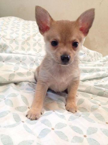 chihuahua puppies for sale in michigan chihuahua puppies for sale in grand rapids michigan 7478