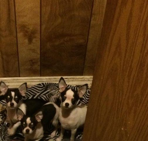Teacup Chihuahua Puppies For Sale In Nevada Classifieds Buy And