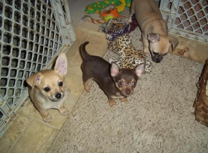 chihuahua puppies michigan chihuahua puppies for sale in millington michigan 6852