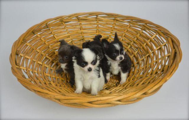 Chihuahua Puppies for Mothers Day!