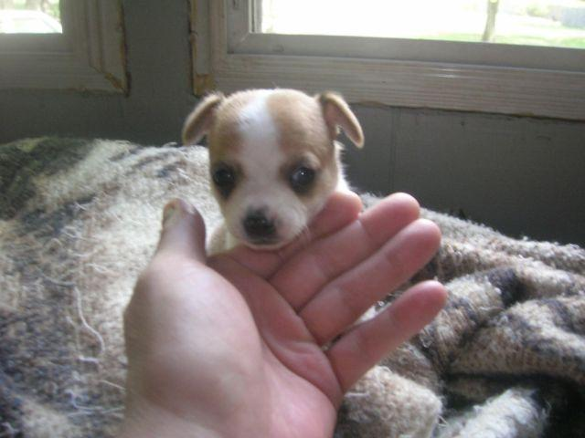 Chihuahua For Sale In Michigan Looking For Care
