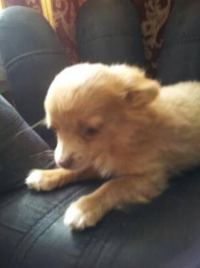 Chihuahua Puppies For Sale For Sale In Pueblo Colorado Classified