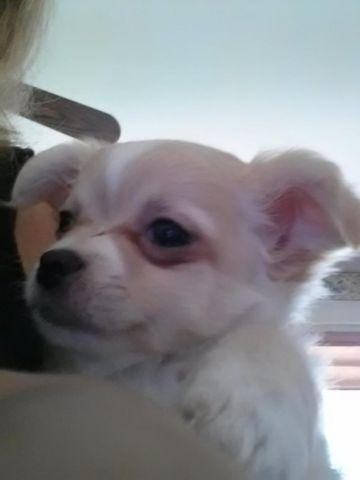 Chihuahua Puppies For Sale Long Coat For Sale In Stockbridge