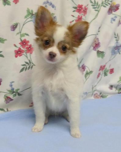 Chihuahua Puppies for Sale ~ Reputable breeder in Oregon