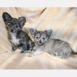 Chihuahua Puppies !!!!! Longcoat darlings !