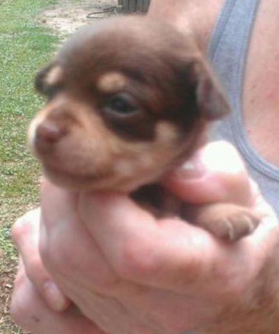 free chihuahua puppies in houston tx