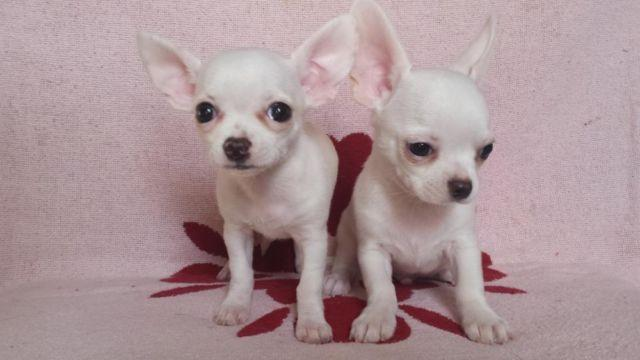 chihuahua for sale in pa chihuahua puppies ready now for sale in greenville 8842