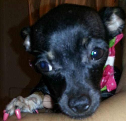 chihuahua for sale in va chihuahua puppy for sale in hton virginia classified 2821