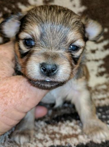 chihuahua apple head Pets and Animals for sale in California