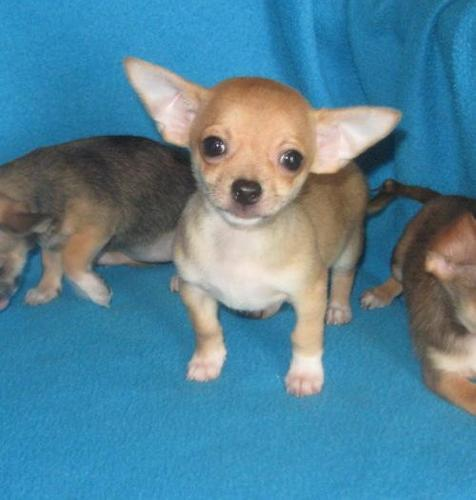 Chihuahua Puppy For Sale Adoption Rescue For Sale In Shawnee