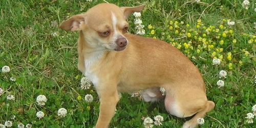 Chihuahua Puppy for Sale - Adoption, Rescue