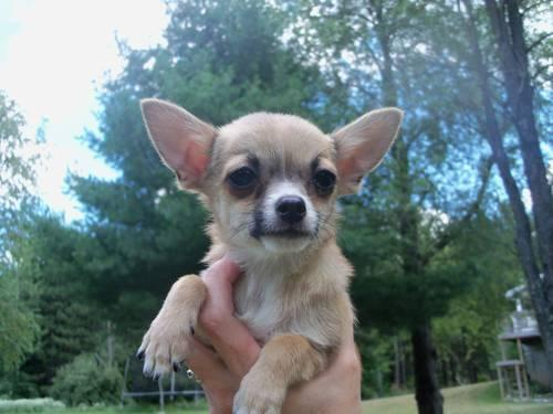 chihuahua puppies michigan chihuahua puppy for sale for sale in fremont michigan 8721
