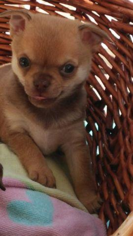Chihuahua Puppy Only 1 Left Small Male For Sale In Mechanicsville