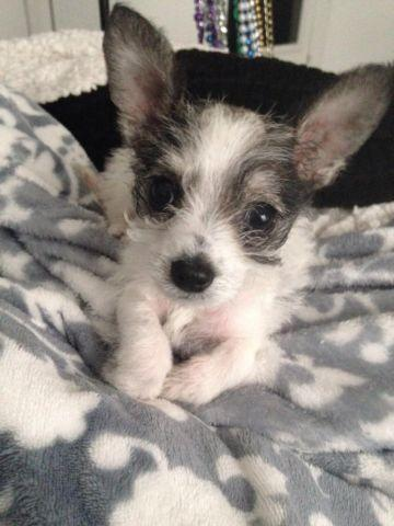 Chihuahua Schnauzer Mix Puppy For Sale In Brookside