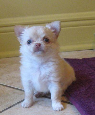 Chihuahua Sissy long hair *SOLD