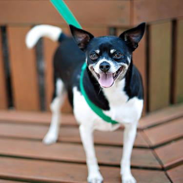 Chihuahua - Spike Ny - Small - Adult - Male - Dog