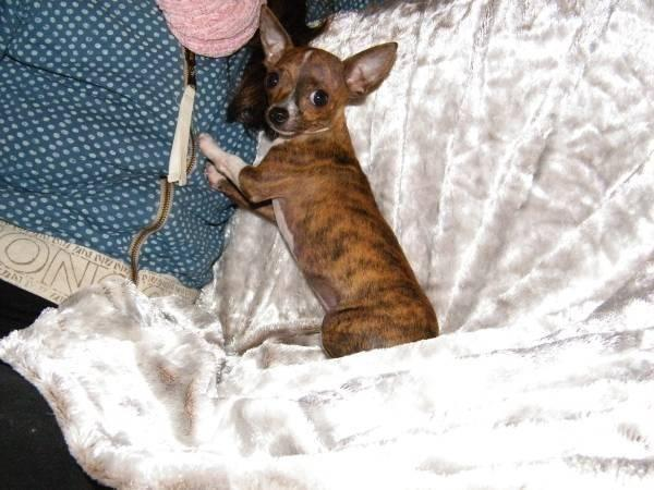 brindle chihuahua for sale chihuahua teacup boy brindle male chihuahuas for sale in 1578