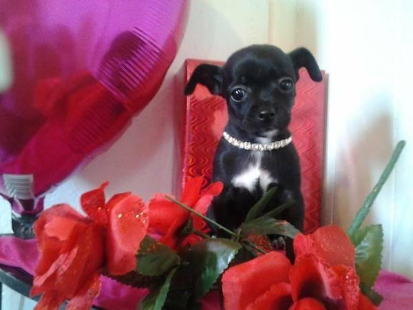 Chihuahua Teecup Poodle Puppy
