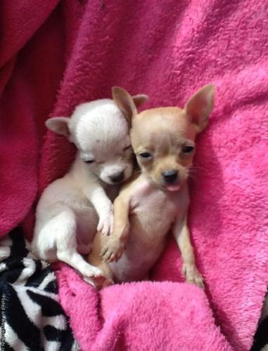 Chihuahua Tiny Applehead Puppies For Sale In Sun City