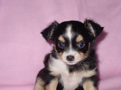tri color chihuahua chihuahua tri color long hair female ckc 7 weeks old for 1123
